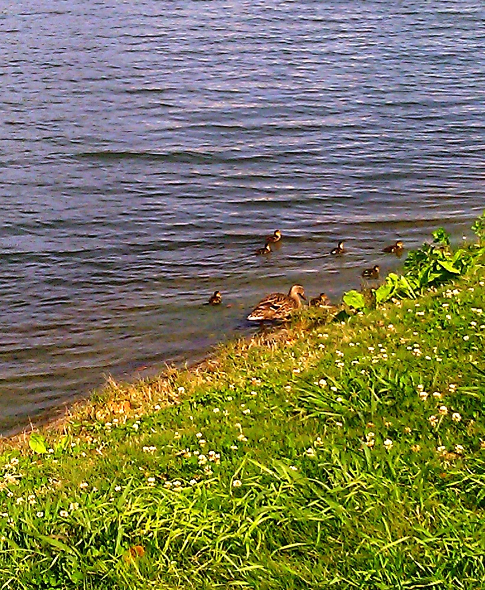 Ducks on Bayou St.John, New Orleans- April 2012